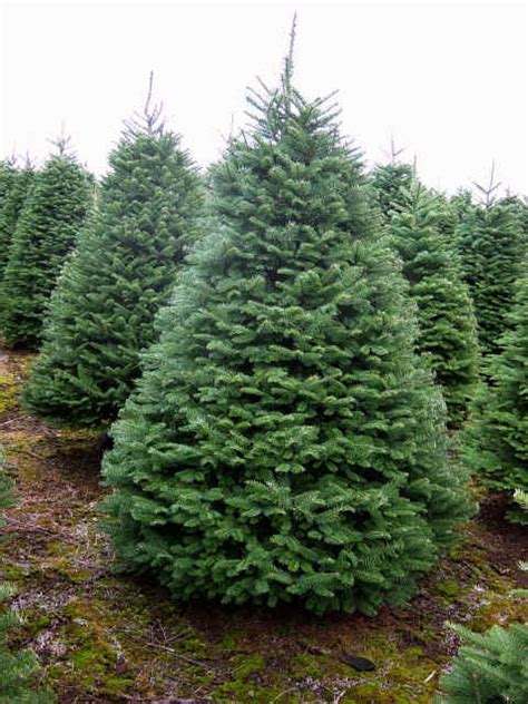noble fir christmascreektrees