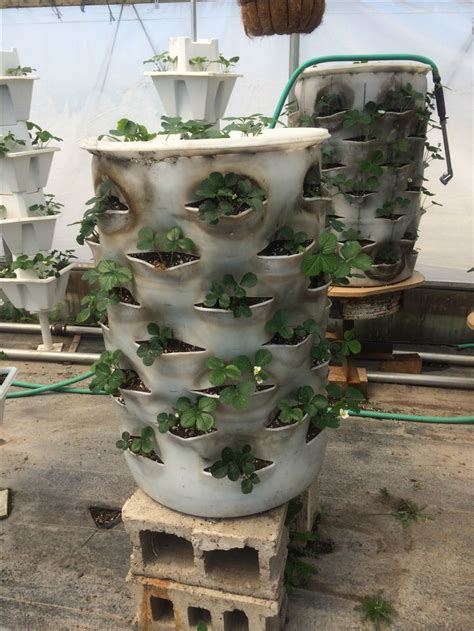 Plastic Barrel Strawberry Planter by How To Grow Strawberries On A 55 Gallon Plastic Barrel