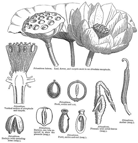 lotus flower anatomy flower anatomy search and lotus on