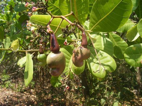 cashew nut fruit tree original file 3 264 215 2 448 pixels file size 1 46 mb
