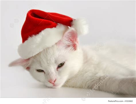 white kitten  xmas hat stock picture   featurepics
