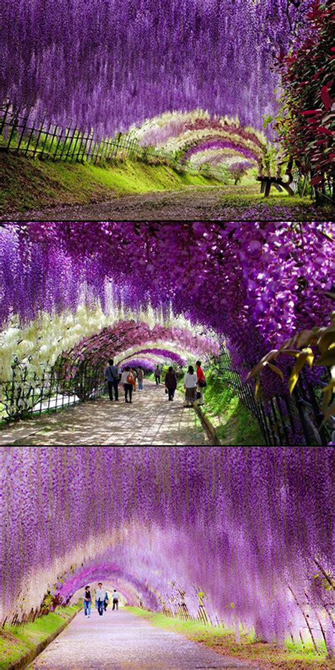 flower tunnel japan fascinating look at the wisteria flower tunnel in japan