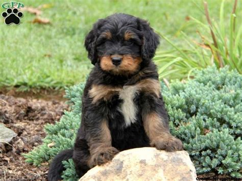 bernedoodle puppies for sale in pa cooper mini bernedoodle puppy for sale in honey brook pa mini bernedoodles