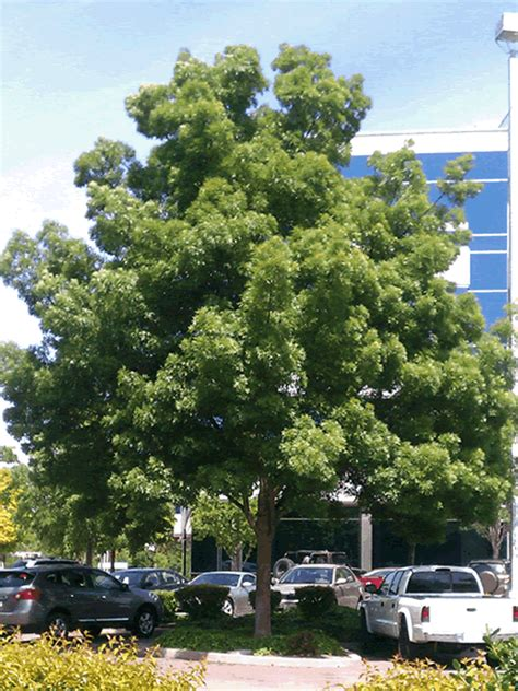 fraxinus augustifolia raywood care transplanters