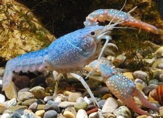 Tempat Jual Bibit Lobster Air Tawar supply lobster tawar hias supplier seafood