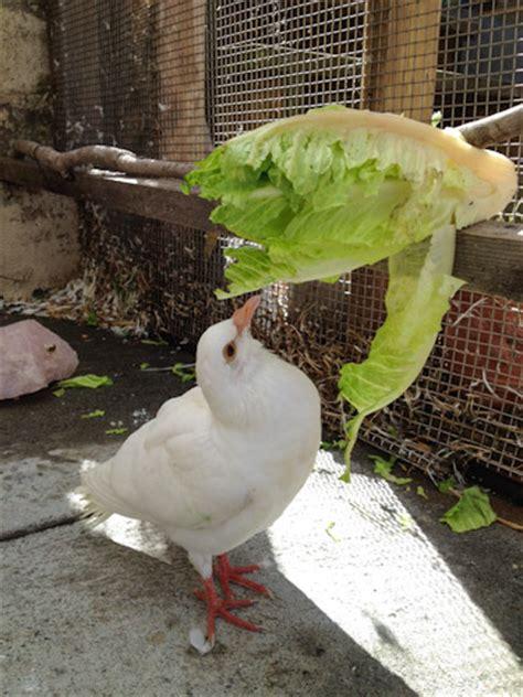 pigeon feeding dove feeding