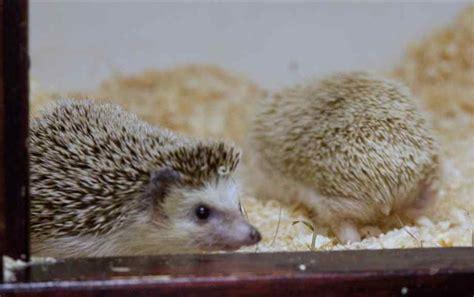 Rumah Lu Aquarium kandang yang baik untuk landak mini hedgehog
