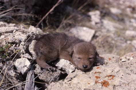coyote puppies for sale puppies photos breeds picture
