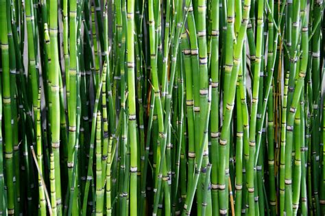 Bamboo Family by Free Images Branch Reed Green Bamboo Grass