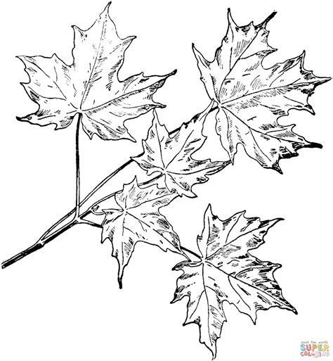 free printable maple leaves oak and maple leaves coloring page free printable coloring