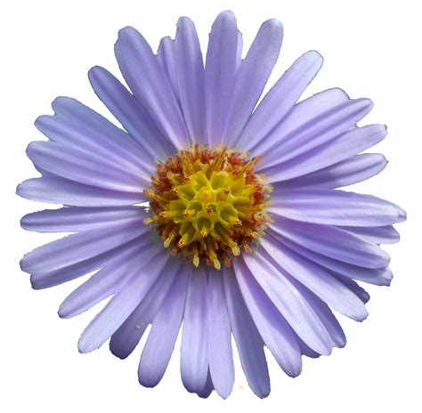 Stokes Aster?Stokesia laevis Plant Care Guide   Auntie