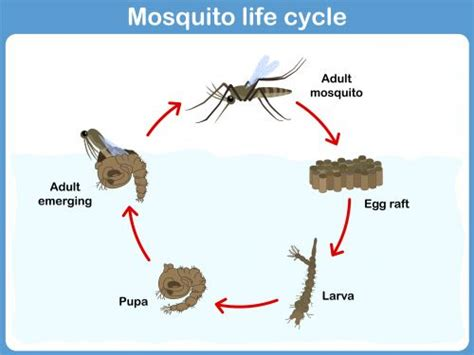 bug cycle diagram 52 best images about biology on brain anatomy