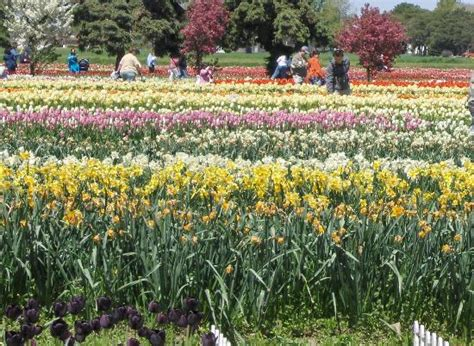 Veldheer Tulip Gardens by Veldheer Tulip Garden Mi Top Tips Before You
