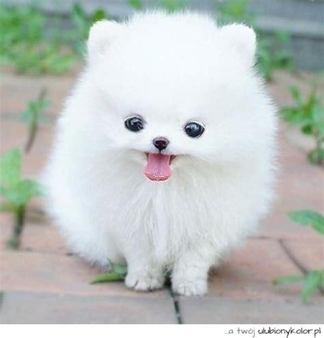 husky pomeranian mix grown pomeranian husky mix grown obrazek uroczy biały pies mina oczka język