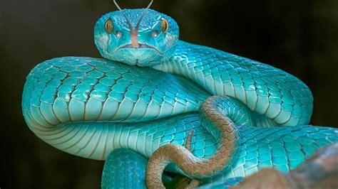 papeis de parede cobra azul vibora olhos  hd imagem