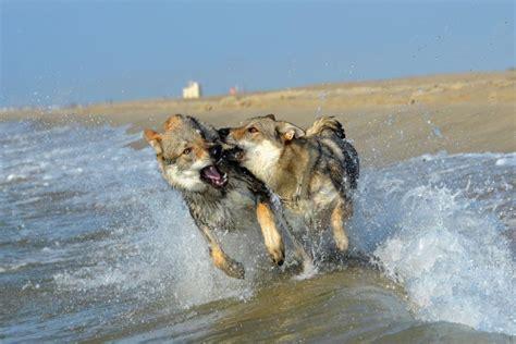 imagenes de lobos chidas lobos peleando en una playa 75486
