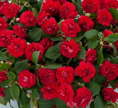 plants flowers 187 busy lizzie