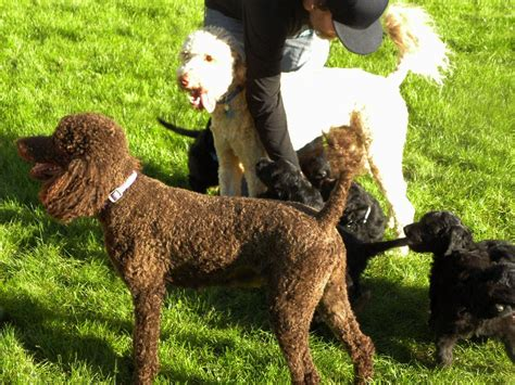 poodle rescue northwest indiana standard poodle aussiedoodle and labradoodle