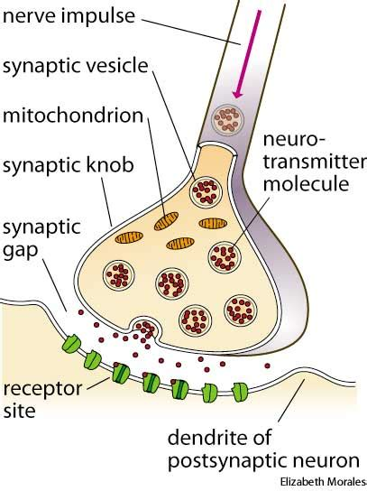 Synaptic Knob Function synapse dictionary definition synapse defined