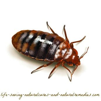 natural way to get rid of bed bugs a sure fire way to get rid of bed bugs naturally at home fast