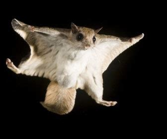 lo scoiattolo volante impattare con la tuta alare