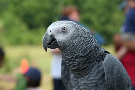 cus on african white african grey parrot