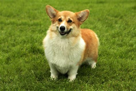 dogs 101 corgi corgi dogs 101