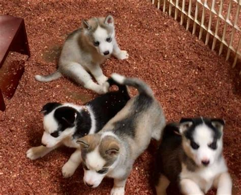 siberian husky puppies for sale in alabama view ad siberian husky puppy for sale alabama montevallo usa