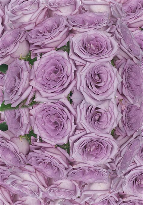 Lavender Coolwater Roses   Calyx Flowers, Inc