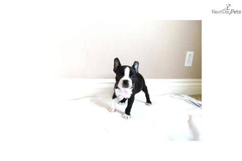 boston terrier puppies for sale in california boston terrier puppy for sale near san diego california 7d6080da 5c81