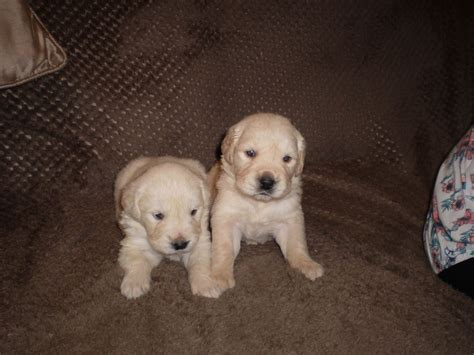 golden retriever puppies for sale boston golden retriever puppies for sale boston lincolnshire pets4homes