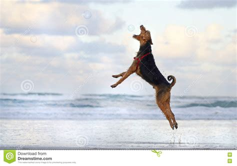 big running big pet jumping running on in summer stock photo image 75097270