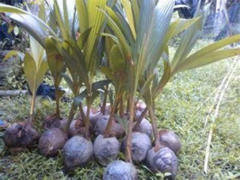 13 cara menanam pohon kelapa dan perawatannya