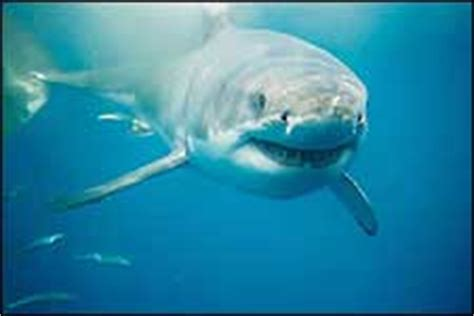 diving in south africa, great white shark, sardine run
