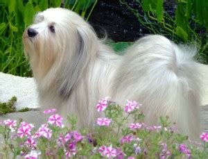 can havanese be left alone havanese breeders all about havanese breeders