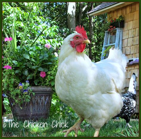 raising chickens naturally the inside story from its