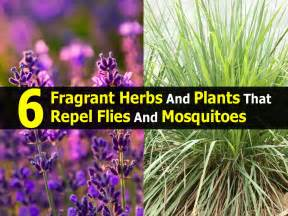 6 fragrant herbs and plants that repel flies and mosquitoes