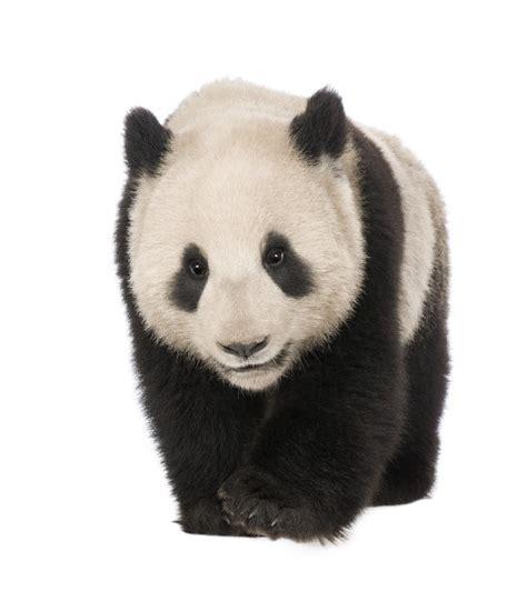 libro oso panda oso panda los osos panda en peligro de extinci 243 n 23 im 225 genes de tiernos osos panda ecolog 237 a hoy