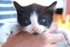 cat eye color l pendergrast s apbiology genetics different alleles