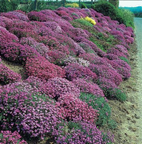 fiori per giardino roccioso piante perenni per giardino roccioso