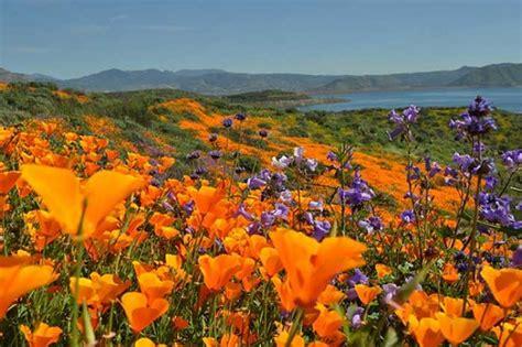 california desert flowers daily death valley super bloom slash zine