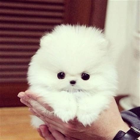 teacup pomeranian how big do they get the teacup pomeranian does it exist and if so it is a pet