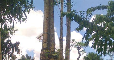 Bibit Sengon Solomon Nganjuk bibit tanaman murah jual pohon pule di