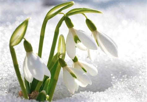 snowdrop 10 of spring s most beautiful blooming bulbs mnn mother nature network