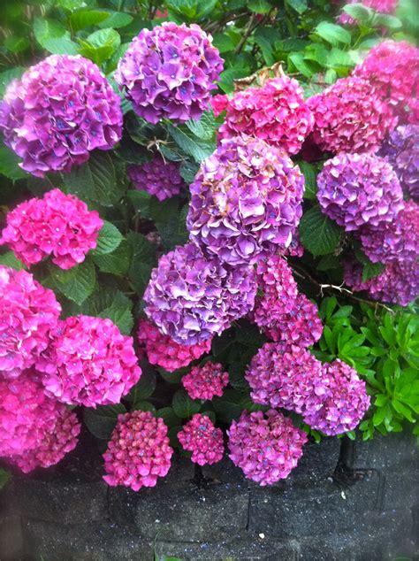 shrubs that flower all year todaysmama beautiful hydrangeas year