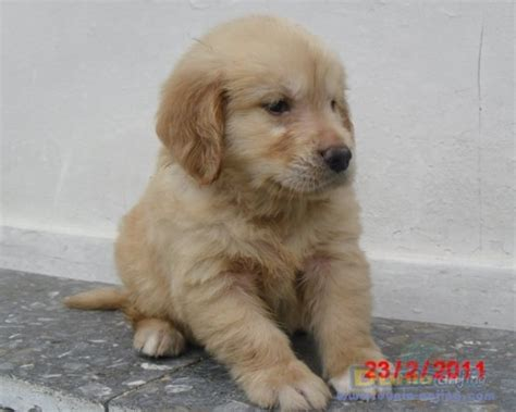Anakan Arwana Golden Bandung dunia anjing jual anjing golden retriever jual anakan