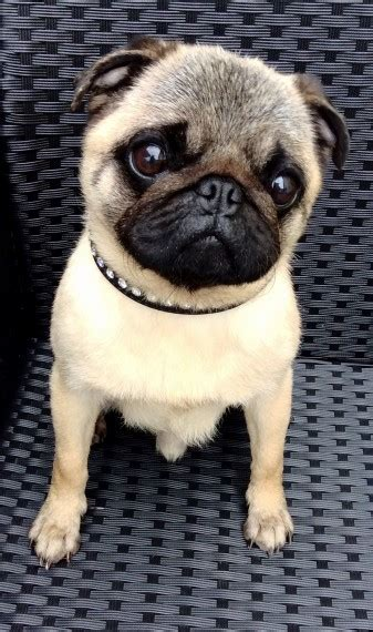 pugs for sale hshire pug for sale macclesfield cheshire pets4homes