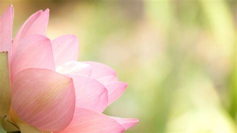 Wallpaper Of Lotus Flower Lotus Flower Wallpapers Images Photos Pictures Backgrounds