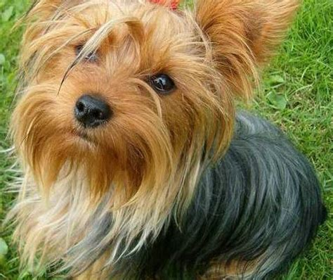 taking care of a yorkie puppy terrier loving and obedient the pets central