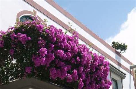 fiori da vaso perenni piante e fiori da balcone perenni